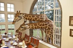 Contornos (066) Giraffe Manor duet